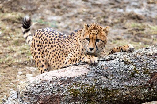 GRAWE Patentier Gepard Tayo erkundet das Außengehege