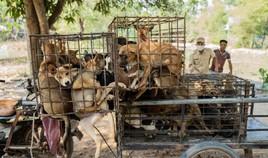 Kambodscha: 61 Hunde am Weg zum Schlachthaus noch rechtzeitig gerettet