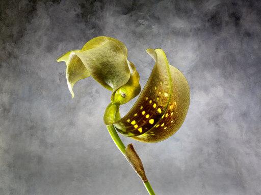 Bulbophyllum Grandiflorum Qrchidaceae