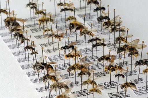 Sammlung pannonischer Wildbienen am Naturhistorischen Museum Wien