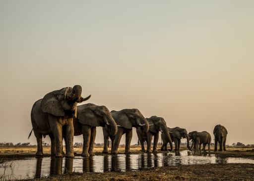 10 Jahre Terra Mater, am Mi., 07.04., ab 20:15 Uhr, bei ServusTV Durstige Elefanten haben sich entlang eines Kanals zum Trinken aufgereiht.