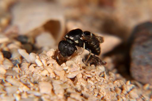 """Ein Pollenwespen-Weibchen der Art Quartinia canariensis beim Nestbau. Die Wespen sind nur knapp 4 mm groß, es handelt sich daher bei den vermeintlich vorhandenen """"Steinchen"""" tatsächlich um Sandkörner."""