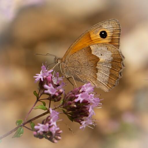 Häufigster Schmetterling 2020, Großes Ochsenauge