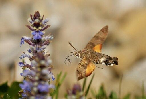 Most liked Schmetterlingsfoto in der App, Taubenschwänzchen