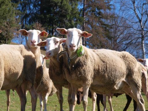 Schafe funken mit 0G / Weiterer Text über ots und www.presseportal.de/nr/155391 / Die Verwendung dieses Bildes ist für redaktionelle Zwecke unter Beachtung ggf. genannter Nutzungsbedingungen honorarfrei. Veröffentlichung bitte mit Bildrechte-Hinweis.