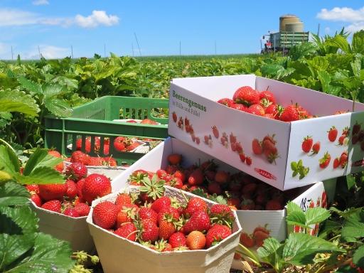 Erdbeeren zählen zu den Lieblingsobstsorten der Österreicher.