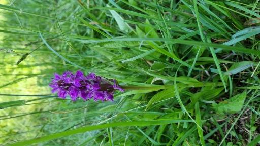 Orchideenpracht am Wörthersee. Am Bild zu sehen die Dactylorhiza incarnata.