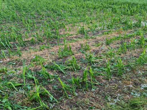 Hagel an Mais in Lenzing