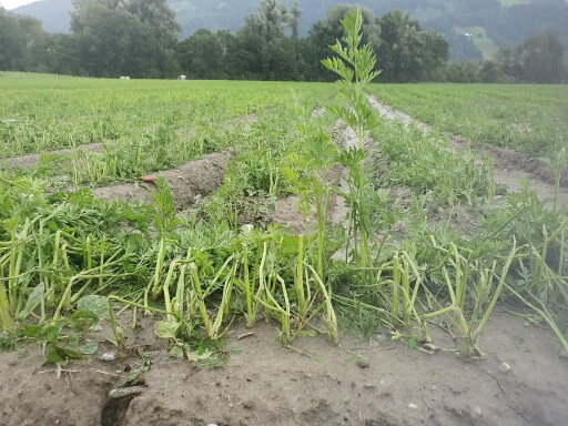 Hagel bei Karotten in Fritzens/Tirol