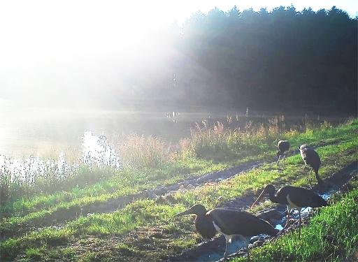 Schwarzstorchpärchen am Teich in Grafenschlag mit erfolgreicher Brut 2020