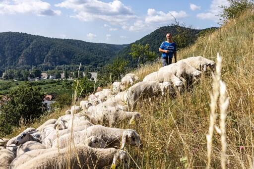 Schafbeweidung in Dürnstein im Sommer 2021